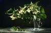 lime flowers - photo/picture definition - lime flowers word and phrase image