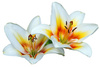 madonna lilies - photo/picture definition - madonna lilies word and phrase image