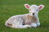 lamb - photo/picture definition - lamb word and phrase image