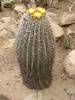 barrel cactus - photo/picture definition - barrel cactus word and phrase image
