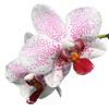 phalaenopsis - photo/picture definition - phalaenopsis word and phrase image