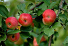 apple tree - photo/picture definition - apple tree word and phrase image
