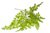 maidenhair leaves - photo/picture definition - maidenhair leaves word and phrase image