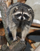 raccoon - photo/picture definition - raccoon word and phrase image