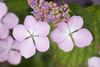 hydrangea - photo/picture definition - hydrangea word and phrase image