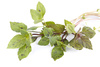 basil bunch - photo/picture definition - basil bunch word and phrase image