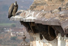 Indian vulture - photo/picture definition - Indian vulture word and phrase image