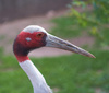 red crane - photo/picture definition - red crane word and phrase image