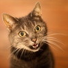 cyprian cat - photo/picture definition - cyprian cat word and phrase image