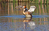 crested grebe - photo/picture definition - crested grebe word and phrase image
