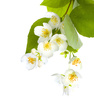 jasmine - photo/picture definition - jasmine word and phrase image