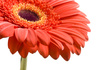 gerbera - photo/picture definition - gerbera word and phrase image