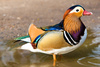 mandarin duck - photo/picture definition - mandarin duck word and phrase image