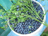 bilberry crop - photo/picture definition - bilberry crop word and phrase image
