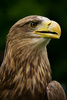 white-tailed eagle - photo/picture definition - white-tailed eagle word and phrase image