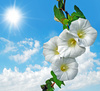 convolvulus - photo/picture definition - convolvulus word and phrase image