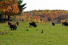 bison herd - photo/picture definition - bison herd word and phrase image