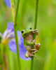 hyla frog - photo/picture definition - hyla frog word and phrase image