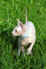 sphynx cat - photo/picture definition - sphynx cat word and phrase image