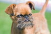 Belge griffon dog - photo/picture definition - Belge griffon dog word and phrase image