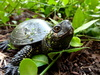 European marsh turtle - photo/picture definition - European marsh turtle word and phrase image