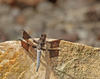 whitetail dragonfly - photo/picture definition - whitetail dragonfly word and phrase image