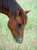 sorrel horse - photo/picture definition - sorrel horse word and phrase image