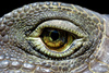 iguana eye - photo/picture definition - iguana eye word and phrase image