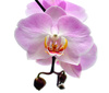 purple orchid - photo/picture definition - purple orchid word and phrase image