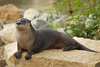 river otter - photo/picture definition - river otter word and phrase image
