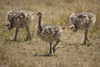 baby ostrich - photo/picture definition - baby ostrich word and phrase image
