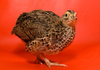 Japanese quail - photo/picture definition - Japanese quail word and phrase image