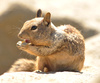 ground squirrel - photo/picture definition - ground squirrel word and phrase image