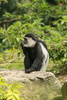 colobus monkey - photo/picture definition - colobus monkey word and phrase image