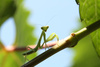 praying mantis - photo/picture definition - praying mantis word and phrase image