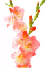 gladiolus - photo/picture definition - gladiolus word and phrase image
