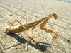 vulturous mantis - photo/picture definition - vulturous mantis word and phrase image