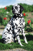 dalmatian dog - photo/picture definition - dalmatian dog word and phrase image