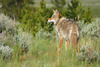 coyote - photo/picture definition - coyote word and phrase image