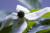 benthamidia japonica - photo/picture definition - benthamidia japonica word and phrase image