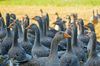 perigord geese - photo/picture definition - perigord geese word and phrase image