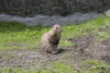 marmot - photo/picture definition - marmot word and phrase image