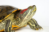 pond terrapin - photo/picture definition - pond terrapin word and phrase image