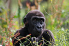 young gorilla - photo/picture definition - young gorilla word and phrase image