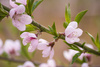 peach blossom - photo/picture definition - peach blossom word and phrase image