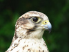 saker falcon - photo/picture definition - saker falcon word and phrase image