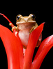 marbled reed frog - photo/picture definition - marbled reed frog word and phrase image