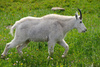 mountain goat - photo/picture definition - mountain goat word and phrase image