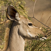 kudu antelope - photo/picture definition - kudu antelope word and phrase image