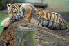 Tiger cub - photo/picture definition - Tiger cub word and phrase image